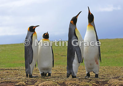 One pair of King Penguins (Aptenodytes patagonicus) watches the other pair display, Volunteer Point, East Falkland, Falkland Islands