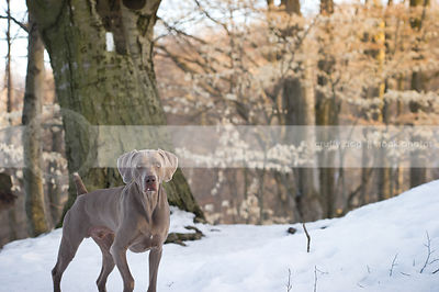 intense grey gundog  staring from winter forest