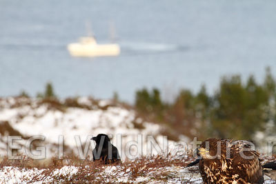 White-tailed eagle/Havørn - Norway