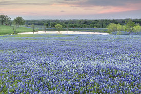 White Bluebonnets and Pond