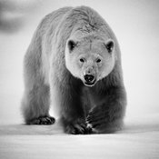 5781-Polar_bear_Baffin_Island_Canada_2016_Laurent_Baheux