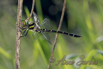 Dragonflies (Anisoptera) photos