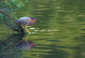 April - Green Heron