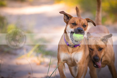 two mixed breed dogs playing keep away with toy in natural setting