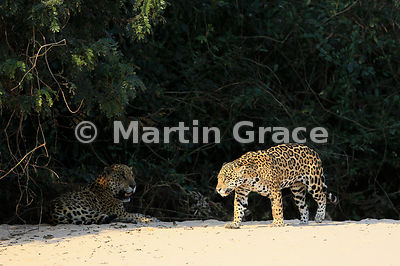 Sunlit female Jaguar (Panthera onca) 'Hunter' walks past her mate 'Hero' who is lying in the shade, Three Brothers River, Northern Pantanal, Mato Grosso, Brazil. Image 22 of 62; elapsed time 38mins