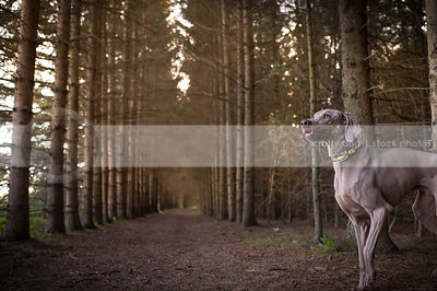 expressive grey weimaraner dog in forest of pine trees