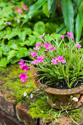 Pot of rhodohypoxis on brick wall of raised bed. Bosvigo, Truro, Cornwall, UK
