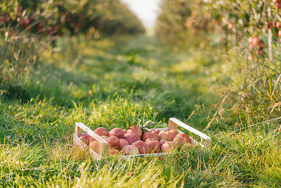 Crate with apples in orchard
