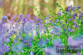 Common bluebell (hyacinthoides non-scripta) and ferns - Europe, Belgium, Flanders, Halle, Hallerbos - digital