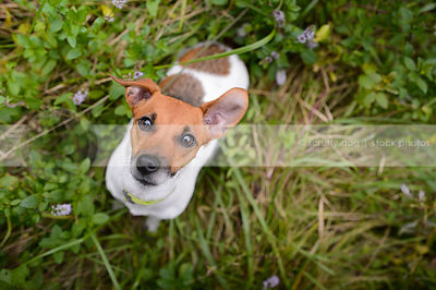 small terrier dog looking up into camera from grass