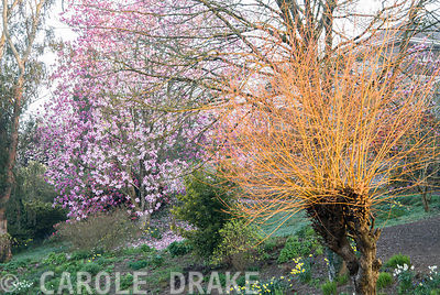 Pollarded willow illuminated by early morning sunlight with pink Magnolia sprengeri 'Marwood Spring' beyond, beside the top pond. Marwood Hill Gardens, Barnstaple, Devon, UK