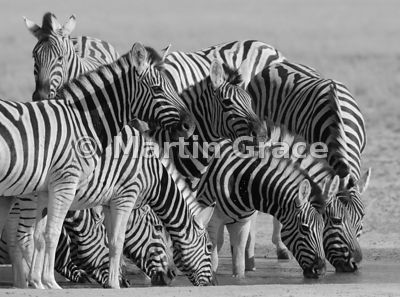Plains Zebra (Equus burchellii) drinking at Andoni Waterhole, Etosha National Park, Namibia - Black & White conversion