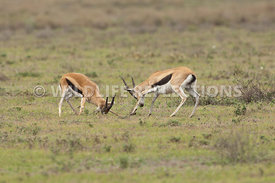 thomsons_gazelle_battle_7