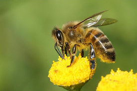 Apis mellifera - European honeybee