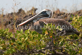 galapagos_brown_pelican_tree_rest_4