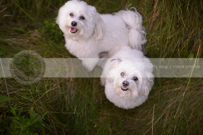 overhead stock photograph of two white fluffy dogs looking up from grasses
