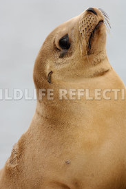 California Sea Lion Golden Pup Profile 2