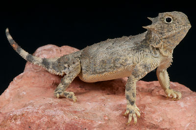 Round-tailed horned lizard / Phrynosoma modestum photos