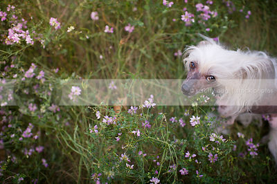 chinese crested freckled small dog staring up at camera from flowers