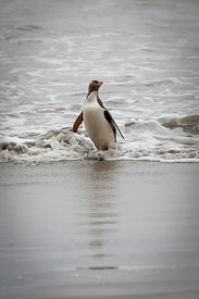 Yellow Eyed Penguin 2