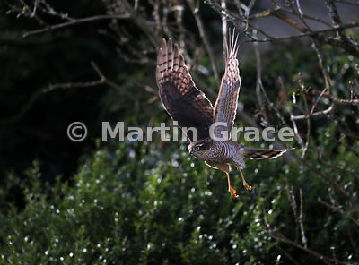 Juvenile male Eurasian Sparrowhawk (Accipiter nisus) in flight, Lake District National Park, Cumbria, England