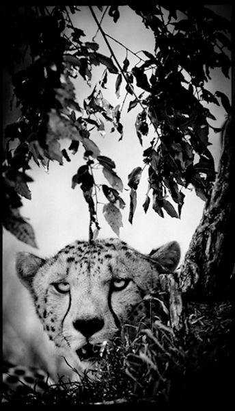 Cheetah in the leaves, Kenya 2006 © Laurent Baheux