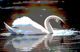 Wild swan on a lake, Franche-comte, France