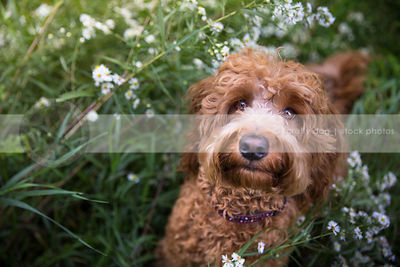 intense scruffy red dog staring upward from flowers and grasses