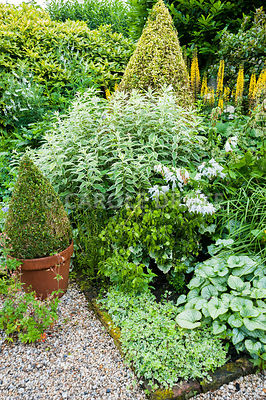 The Vean Garden is predominantly white, blue and gold with lots of strong foliage plants including clipped box and golden privet, Ligustrum ovalifolium 'Aureum', variegated ivy, silvery Brunnera macrophylla 'Jack Frost', variegated phlox, white campanulas and yellow ligularia. Bosvigo, Truro, Cornwall, UK