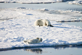 As the female polar bear rests in the background her cub plays in the snow near the icy Artic water in Norway.
