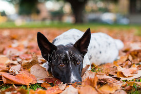 Black and white mutt laying in fall leaves