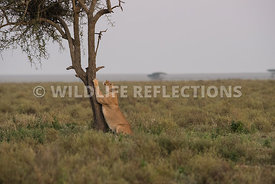 lioness_tree_scratch_ndutu_02202015-1-Edit