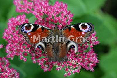 A Peacock butterfly (Inachis io) with symmetrical damage to both hind wings, probably as the result of a bird attack, resting on Sedum spectabile