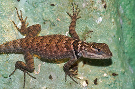 Sceloporus serrifer