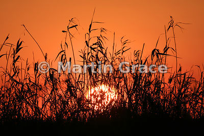 Riverbank grasses silhouetted against the setting sun, River Chobe, Botswana