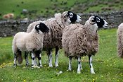 Swaledale sheep in field. Cumbria