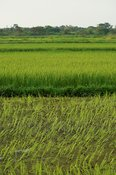 Rice crop growing in nationlised paddy fields, Mbale, Uganda