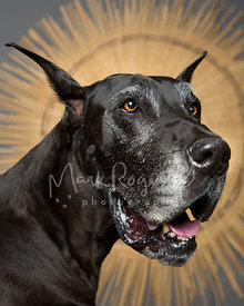 Portrait of Senior Great Dane Dog against Sunburst Background