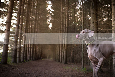 grey weimaraner dog licking waiting in pine tree forest