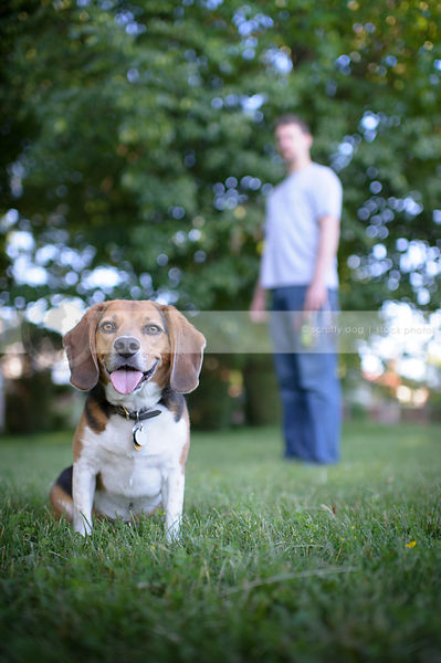 tricolor beagle dog sitting in park grass with owner behind