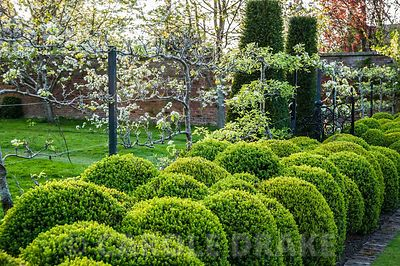 Clipped box spheres create a hedge below espaliered fruit trees that divide the Kitchen garden from the Orchard and Upper Arboretum.