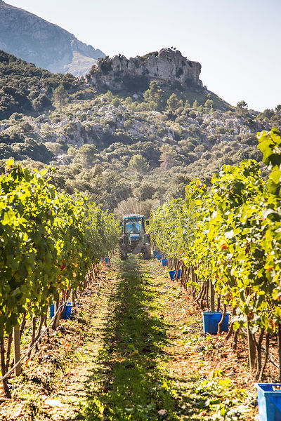 grape harvesting, Mallorca, with tractor