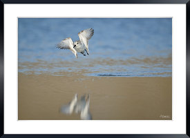 Becasseau Sanderling envol