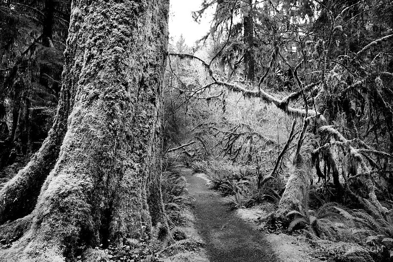 MOSS COVERED TREES SPRUCE NATURE TRAIL HOH RAINFOREST OLYMPIC NATIONAL PARK BLACK AND WHITE