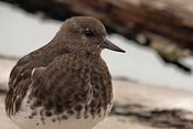 Close up of a Black Turnstone