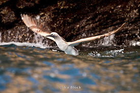 A blue-footed booby takes flight out of water in Punta Espinosa.