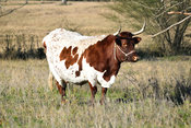 Cow Stock Photos: Texas Longhorn cow in pasture
