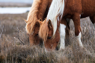 WIld horses (Equus ferus caballus) grazing on Assateague Island, Maryland