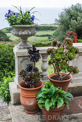 Pots at the top of the steps on the terrace contain succulents, Aeonium arboreum, and Zantedeschia aethiopica. The Shute, nr Ventnor, Isle of Wight, UK