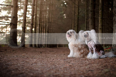 two small chinese crested dogs sitting in forest